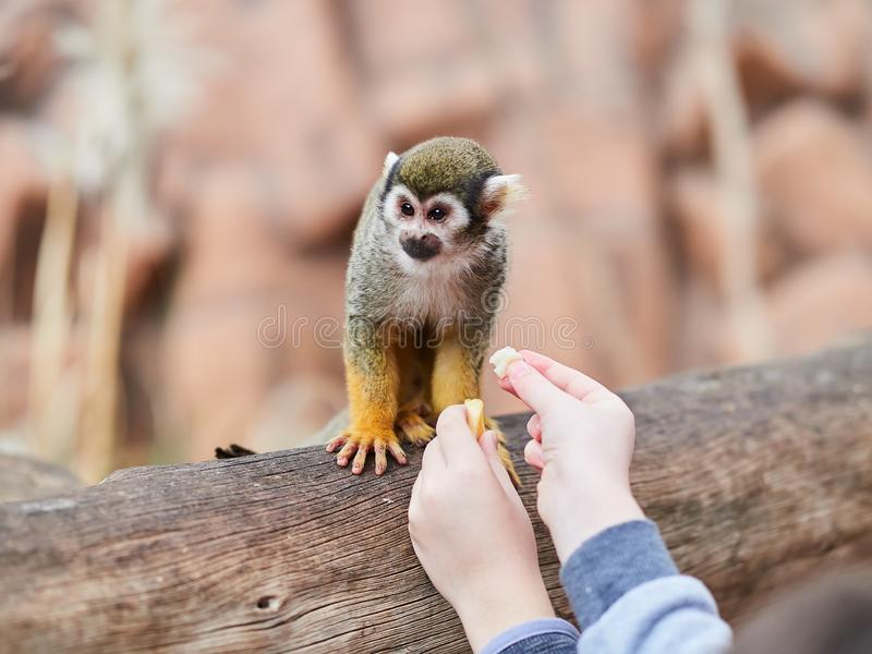 Beau petit singe au parc Loro Parque, T?n?rife, ?les Canaries, Espagne de Loro image libre de droits