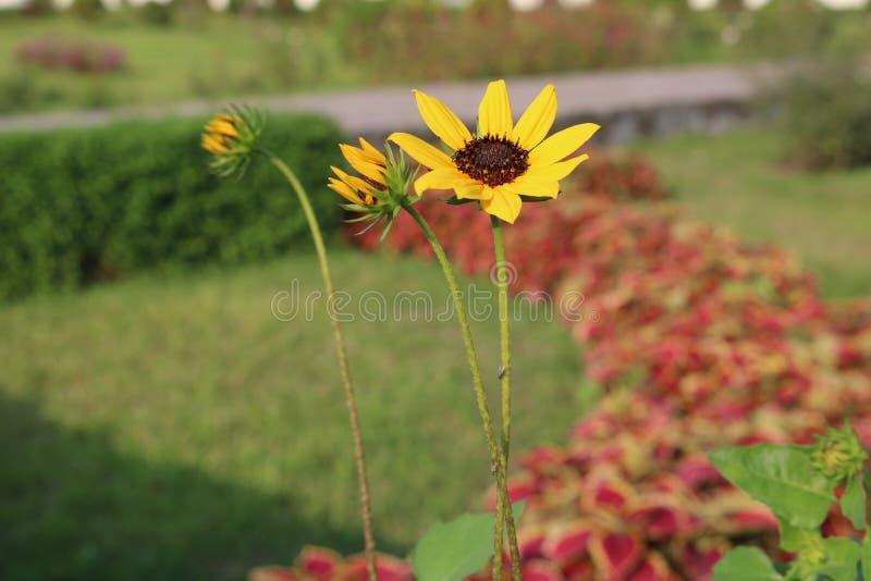Beau petit tournesol jaune de jardin bangladais photographie stock libre de droits