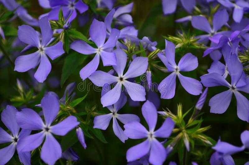 Beau phlox bleu de fleurs évasé dans le jardin photographie stock libre de droits
