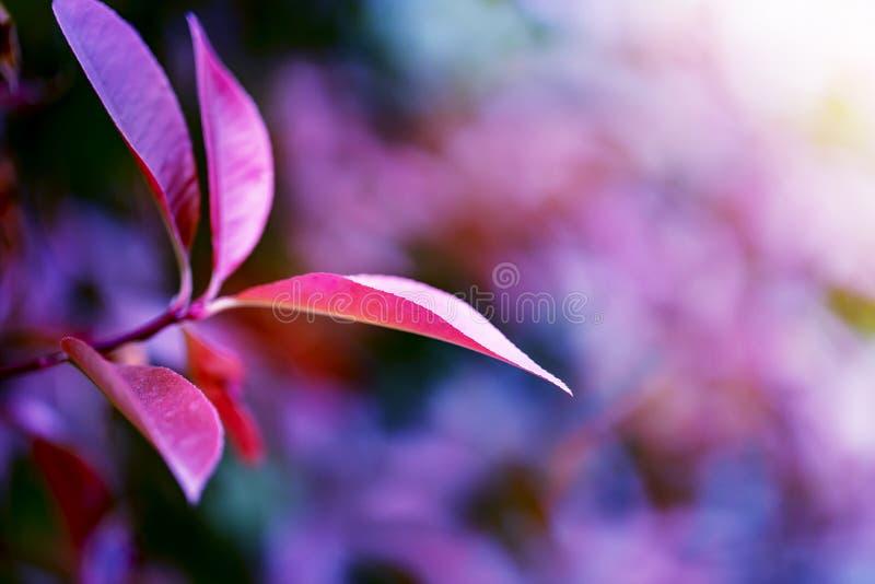 Beau Photinia rouge utilisé pour une haie ou un fond photos stock