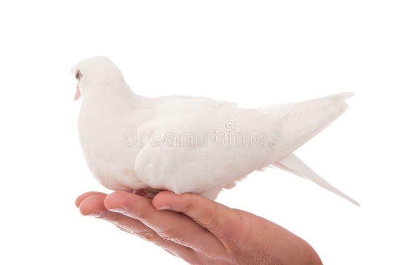 Beau pigeon blanc images libres de droits