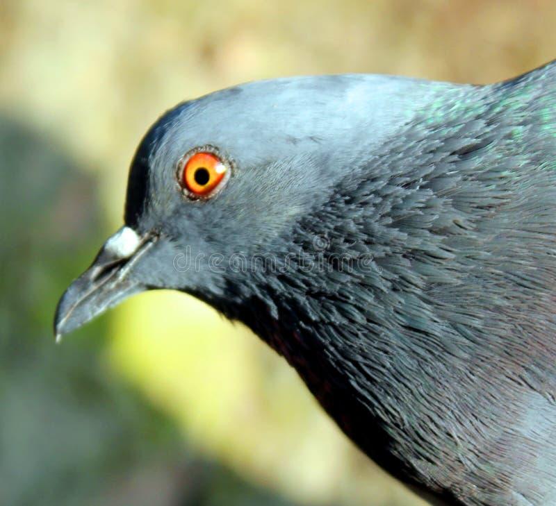 Beau pigeon sur le fond, pigeon d'isolement photo stock