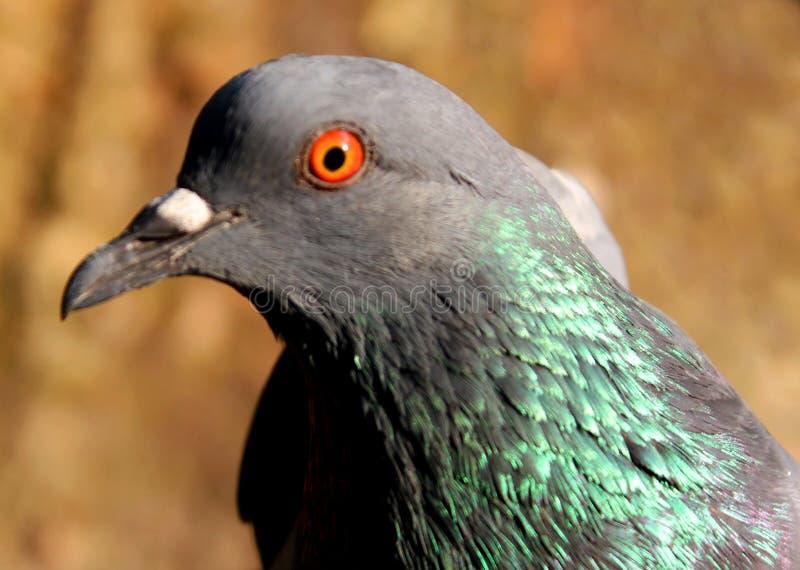 Beau pigeon sur le fond, pigeon d'isolement image stock