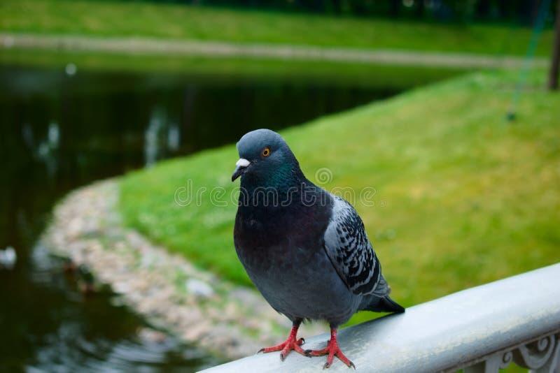 Beau pigeon sur le pont en parc par la rivière image stock