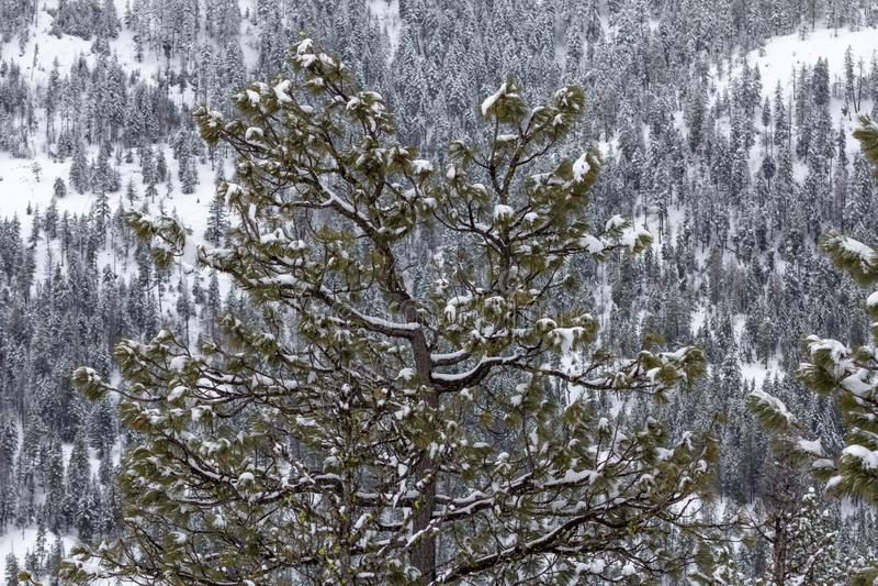 Beau pin avec la neige fraîche, fond de forêt conifére image stock