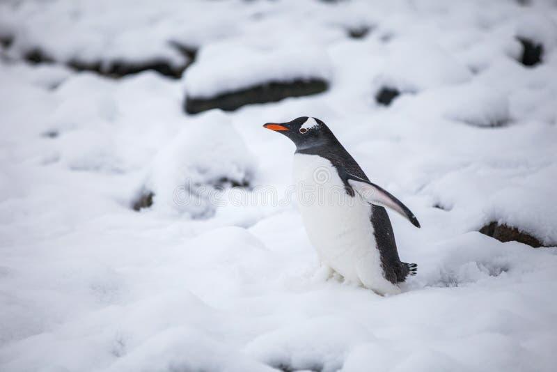 Beau pingouin de gentoo marchant sur la neige en Antarctique images libres de droits