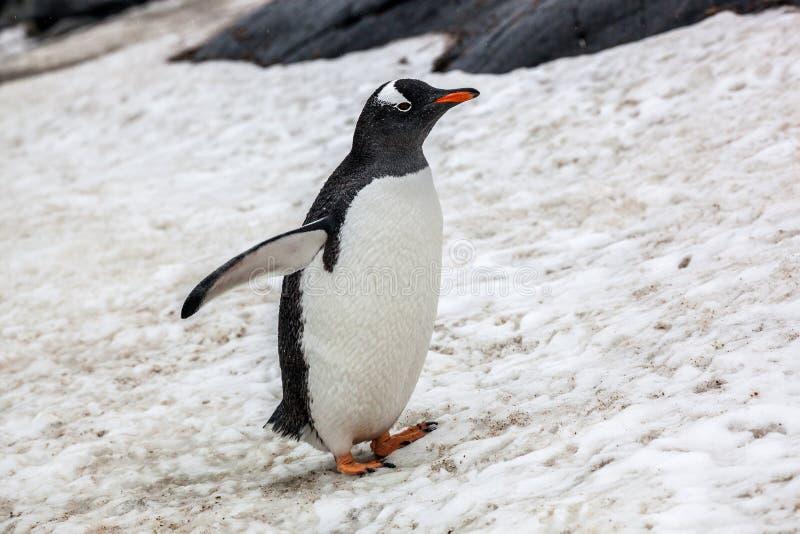 Beau pingouin de gentoo marchant sur la neige en Antarctique photographie stock libre de droits