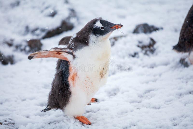 Beau pingouin de gentoo sur la neige en Antarctique image stock