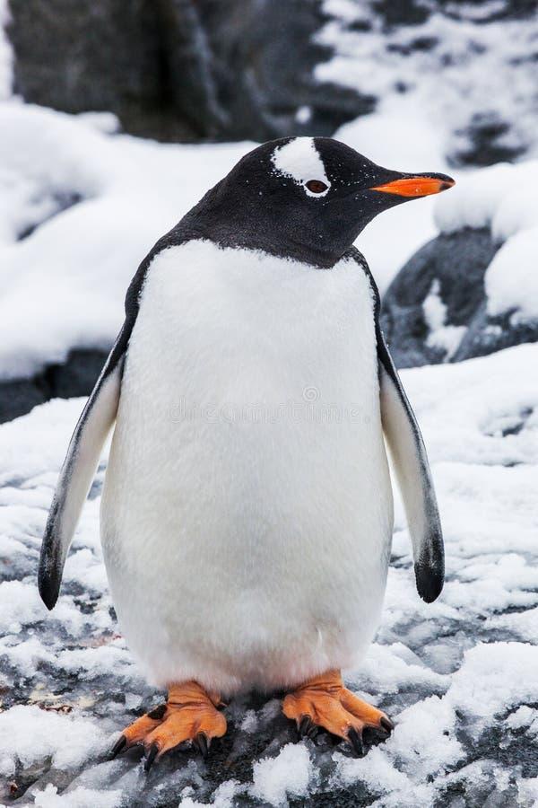 Beau pingouin de gentoo sur la neige en Antarctique images stock