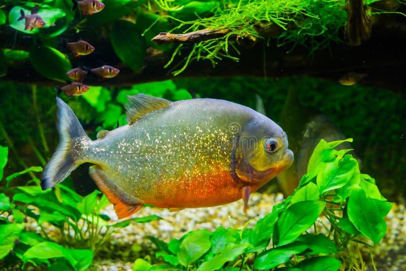 Beau piranha gonflé rouge avec les échelles scintillantes nageant dans l'aquarium, un poisson tropical et coloré du bassin d'Amaz photos libres de droits