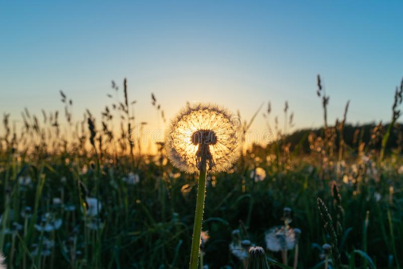 Beau pissenlit dans un domaine sur un coucher du soleil photo stock