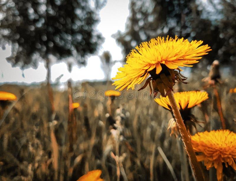 Beau pissenlit jaune lumineux, sur le fond brouillé de l'herbe verte et des arbres photo libre de droits