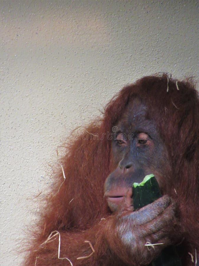 Beau plan rapproché d'orang-outan photos libres de droits