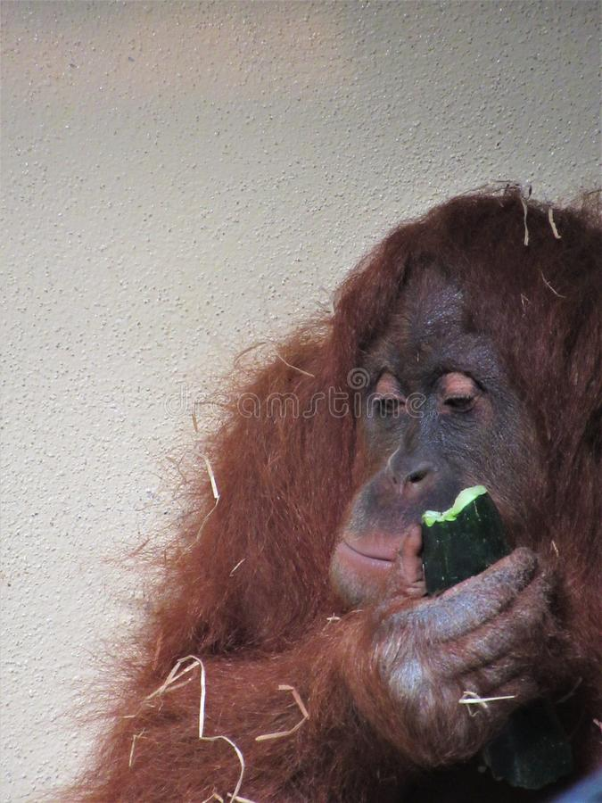 Beau plan rapproché d'orang-outan photographie stock