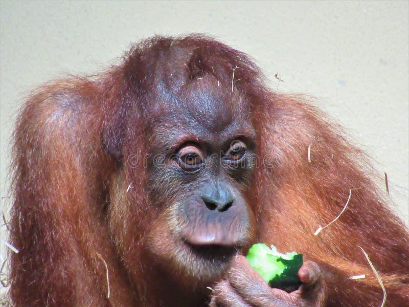 Beau plan rapproché d'orang-outan images stock
