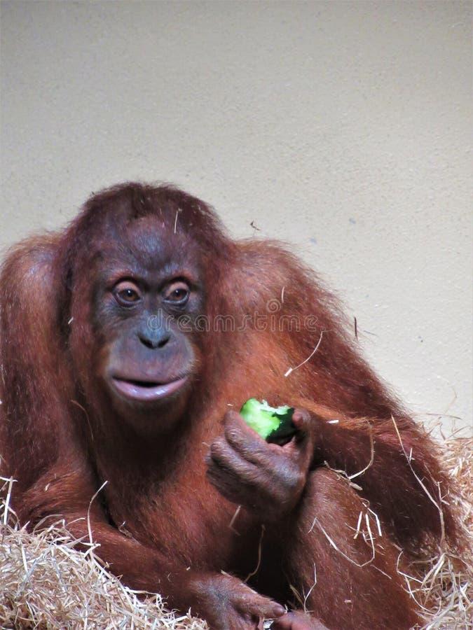 Beau plan rapproché d'orang-outan photo libre de droits