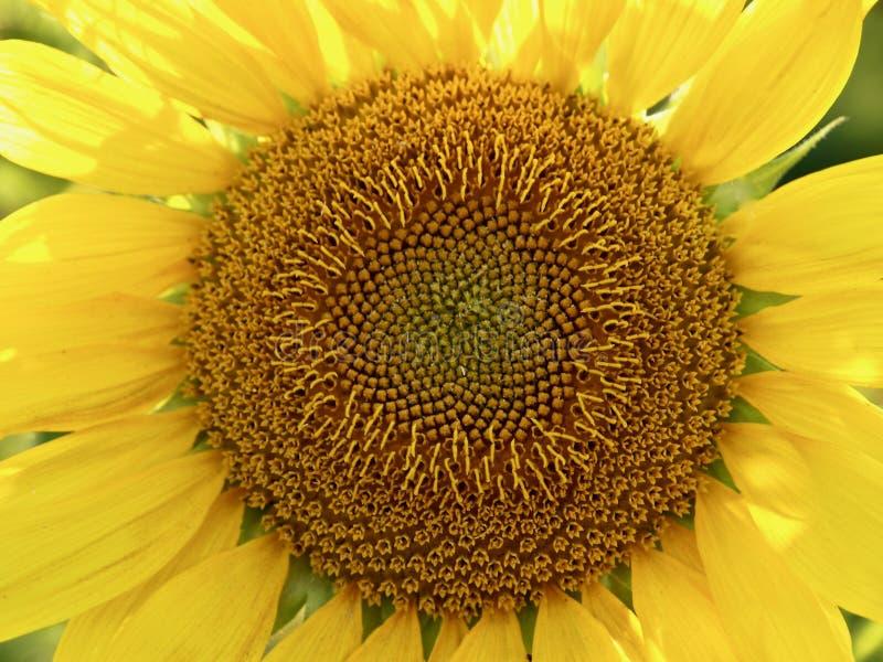 Beau plan rapproché d'un grand tournesol de floraison photographie stock