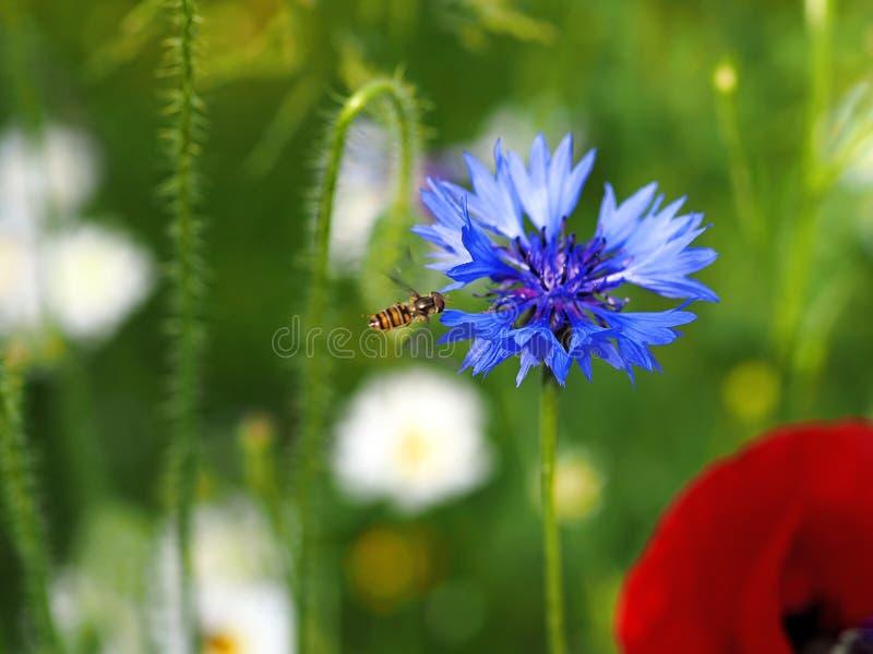 Beau plan rapproché de floraison bleu de bleuet images libres de droits