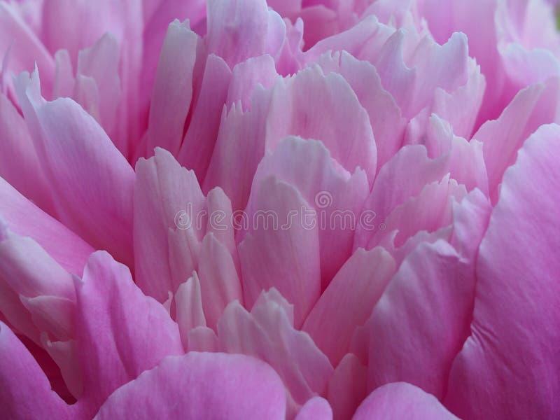 Beau plan rapproché de pétales de pivoine de fond de fleur images libres de droits