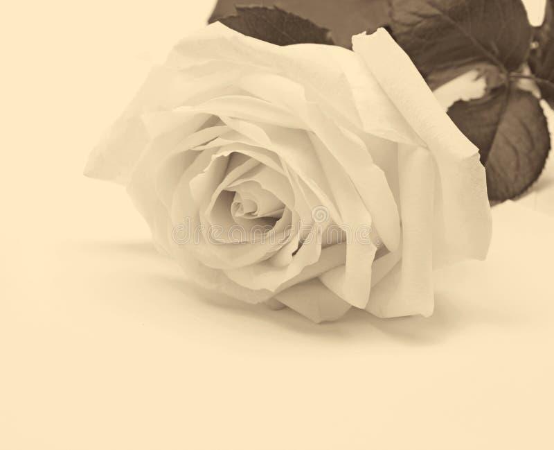 Beau plan rapproché de rose de blanc comme fond de mariage Orientation molle images stock