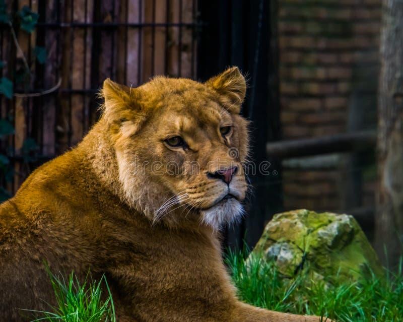 Beau plan rapproché du visage d'une lionne, portrait femelle de lion, mammifère populaire de la savane de l'Afrique, animal vulné photo stock