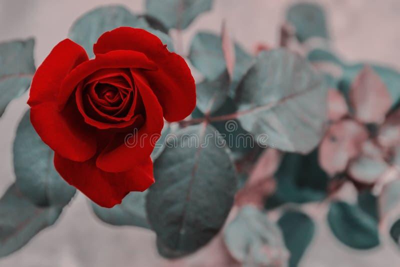 beau plan rapproché rose rouge de fleur effets de filtre de cru de fleur photos libres de droits