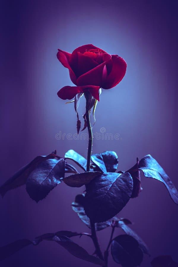 beau plan rapproché rose rouge de fleur effets de filtre de cru de fleur photographie stock libre de droits