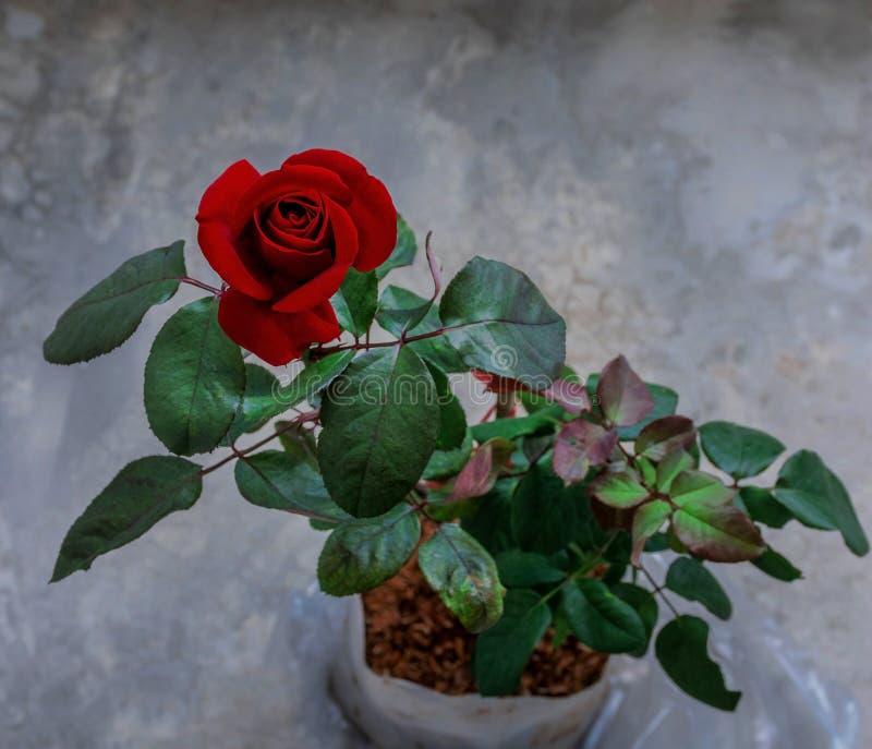 beau plan rapproché rose rouge de fleur effets de filtre de cru de fleur photo libre de droits