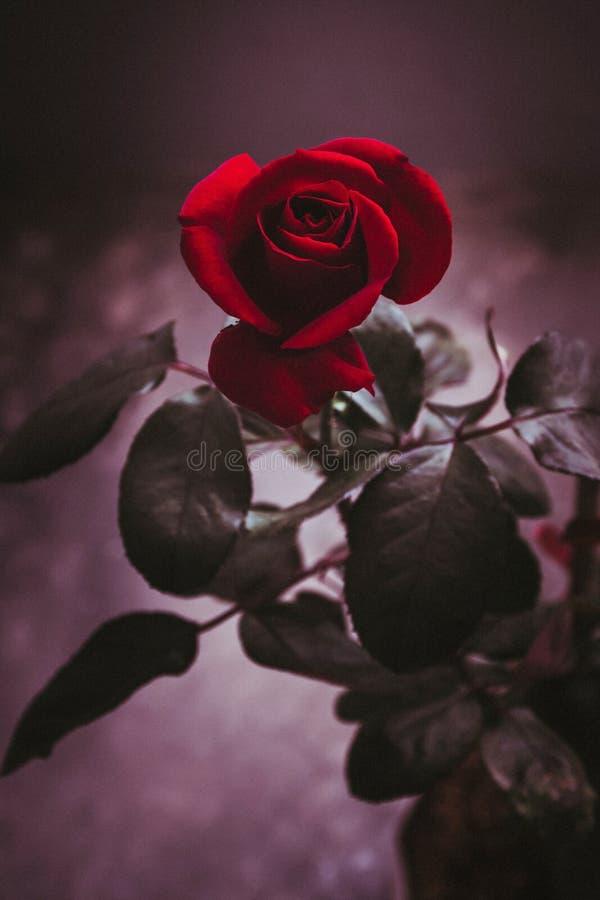 Beau plan rapproché rose rouge de fleur effets de filtre de cru de fleur photos stock