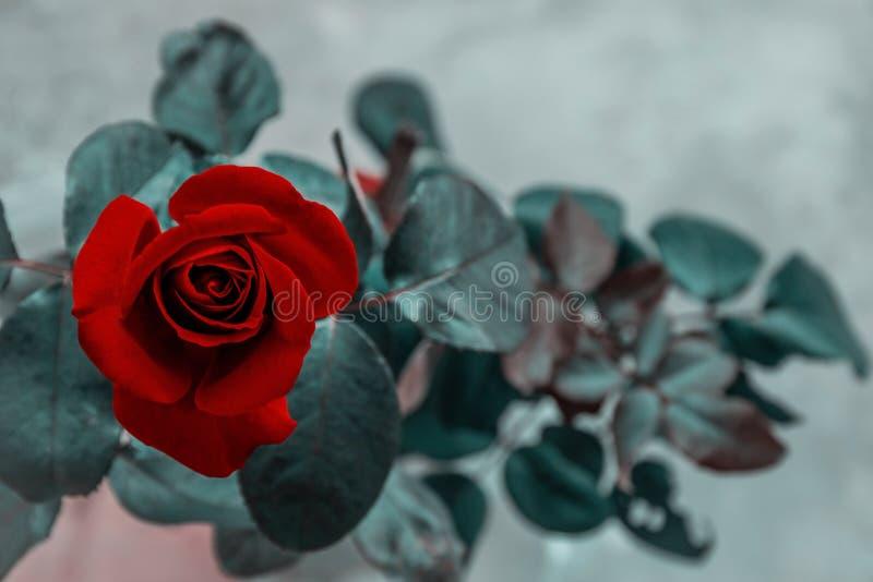 Beau plan rapproché rose rouge de fleur effets de filtre de cru de fleur image libre de droits