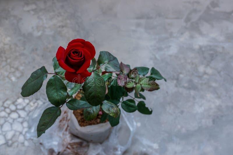 Beau plan rapproché rose rouge de fleur effets de filtre de cru de fleur images stock