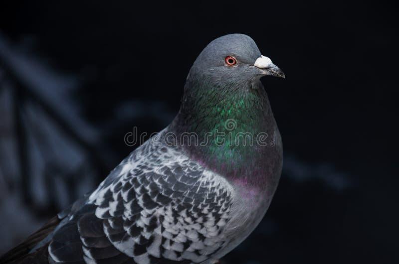 Beau plan rapproché sauvage de colombe sur un fond foncé Les ailes tachetées, la tête est grise avec des yeux rouges et un cou ma images stock