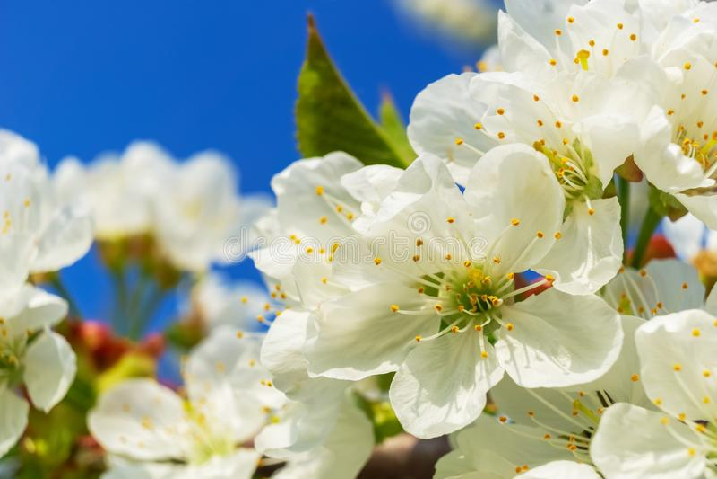 Beau plan rapproché sur les fleurs blanches de plumeria image libre de droits