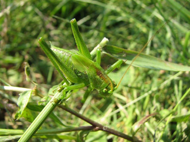 Beau plan rapproché vert de sauterelle dans l'herbe verte photos stock