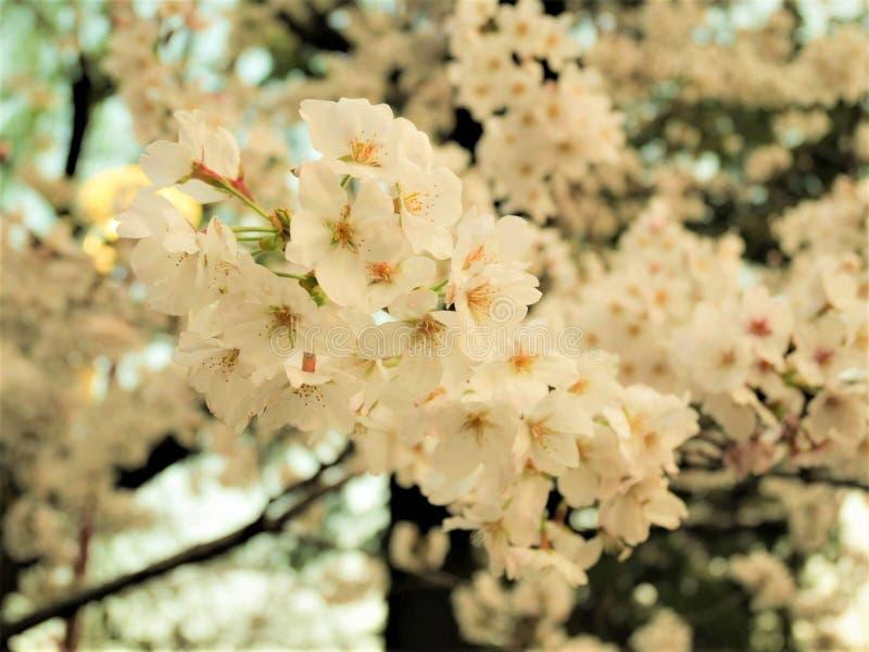 Beau plein Cherry Blossom Sakura Cherry Tree Flowers blanc au printemps image libre de droits