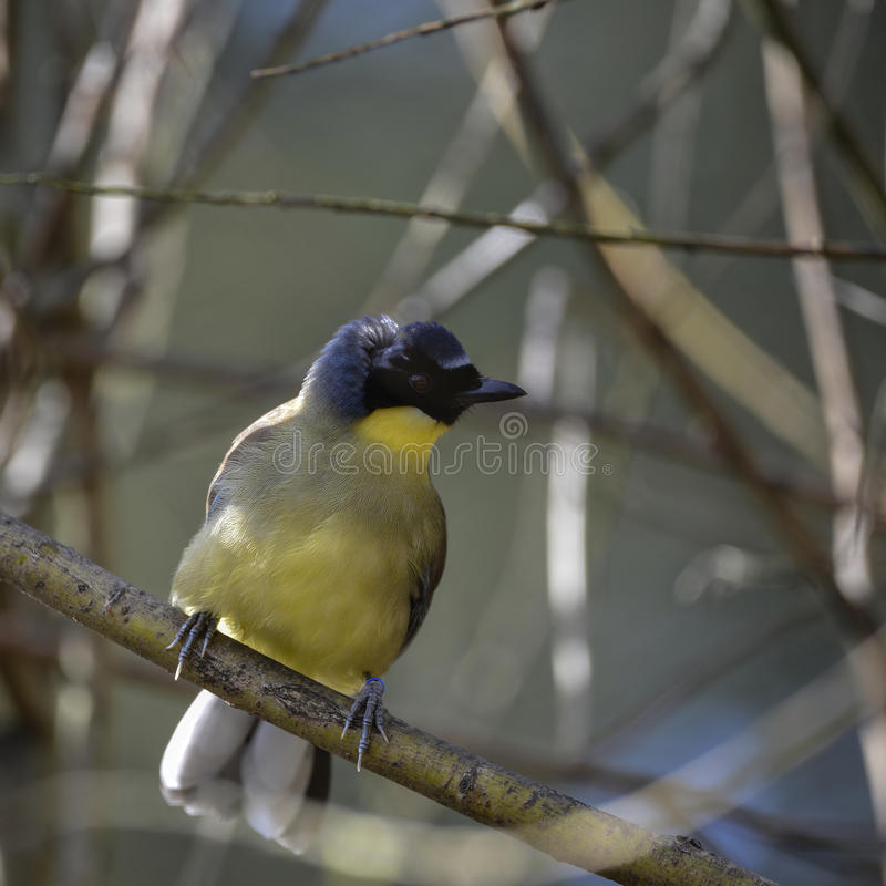 Beau Ploceidae masculin bleu et jaune vibrant d'oiseau de tisserand dedans photos stock