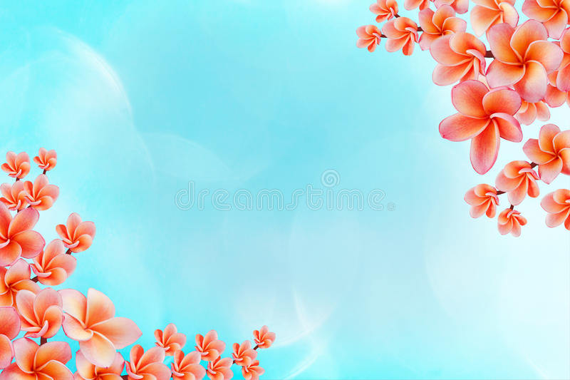 Beau plumeria de fleur ou bunc rose doux d'isolement de frangipani images libres de droits