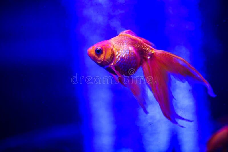 Beau poisson rouge dans un aquarium photo stock