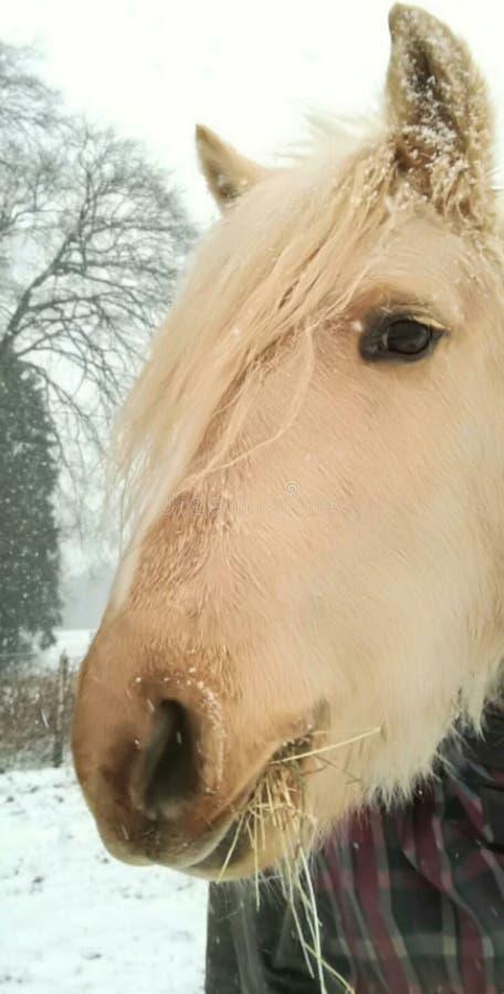 Beau poney de palomino appréciant la neige photo stock