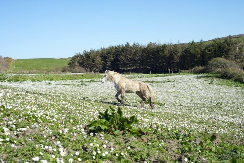 Beau poney irlandais photographie stock