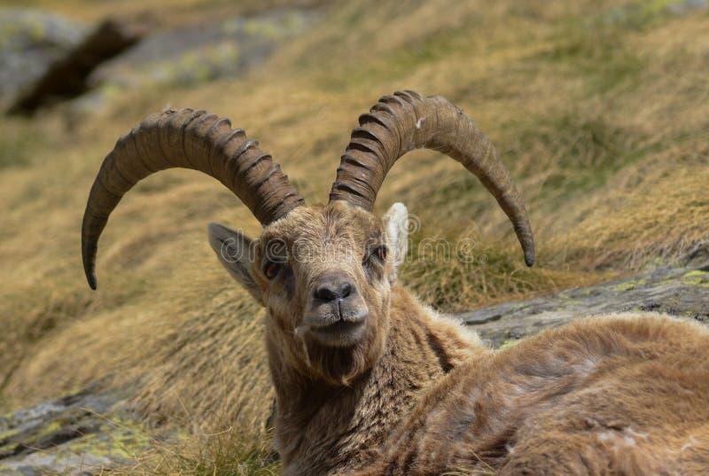 Beau portrait d'un Capricorne se reposant dans l'herbe photographie stock