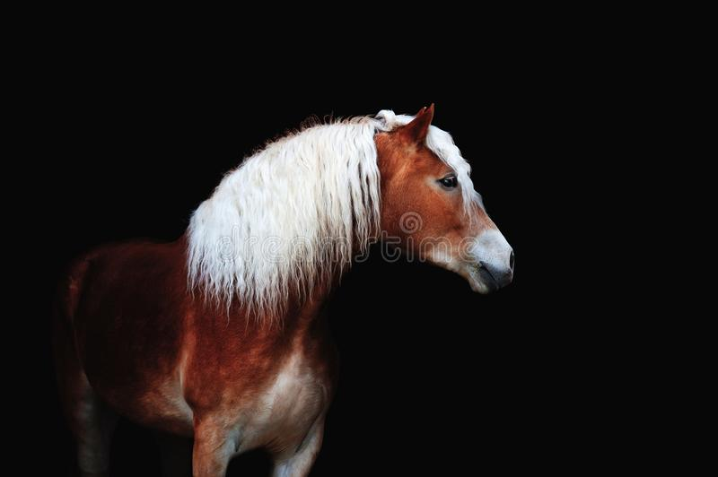 Beau portrait d'un cheval brun avec une longue crinière blanche photographie stock libre de droits