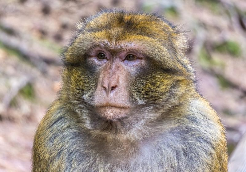 Beau portrait d'une singe de Barbarie songeuse ou triste photo stock