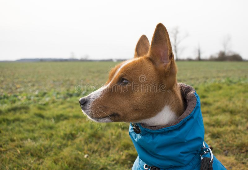 Beau portrait de chien de Basenji dans des vêtements d'hiver image stock