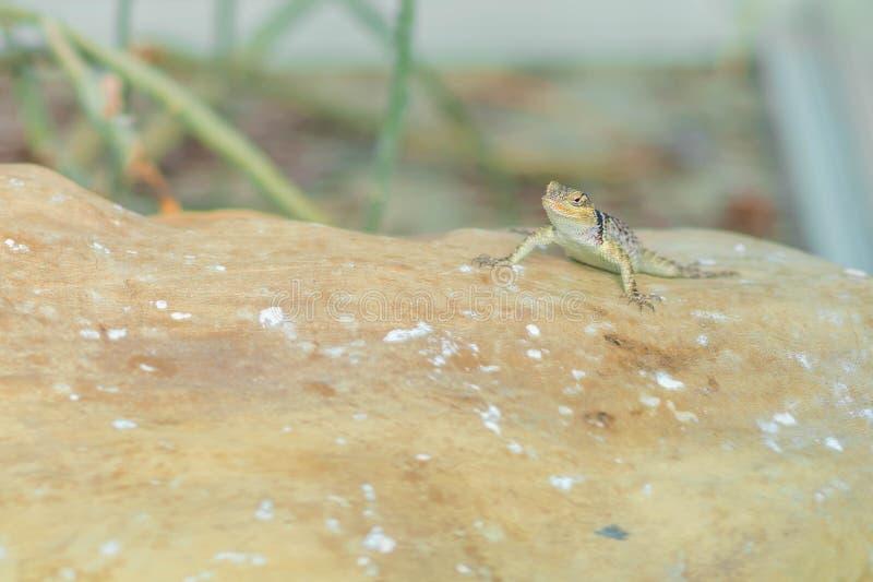 Beau portrait de gecko de léopard de reptile photo libre de droits