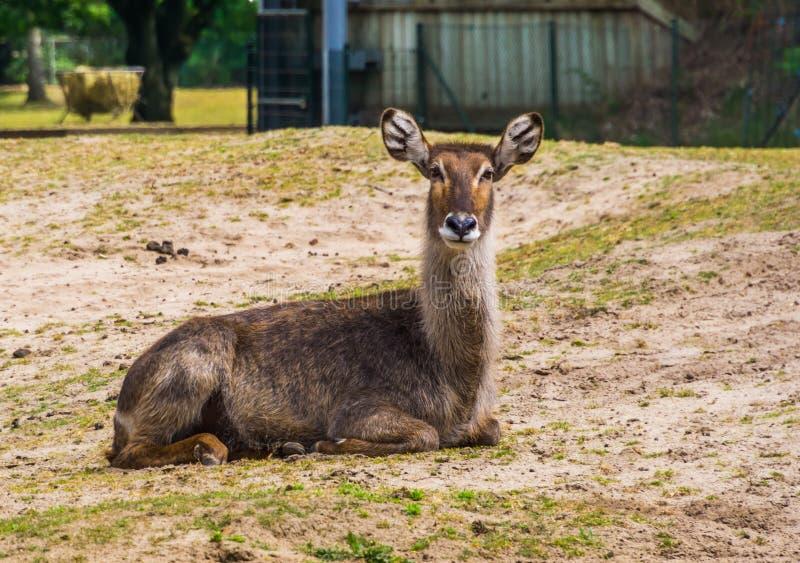 Beau portrait de plan rapproché d'un waterbuck femelle se reposant au sol, espèce d'antilope de marais d'Afrique photographie stock libre de droits
