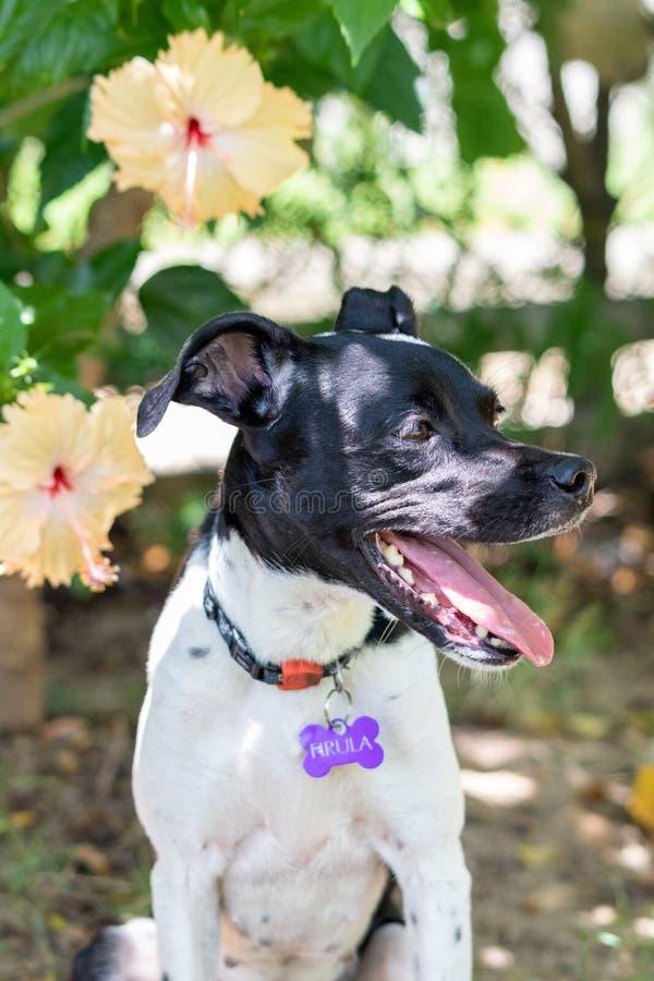 Beau portrait de ressort du chien noir adorable de Terrier de Brésilien en parc de floraison, fleur rose de ketmie sur le backgro photographie stock