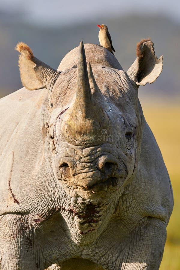 Beau portrait noir de rhinocéros photographie stock