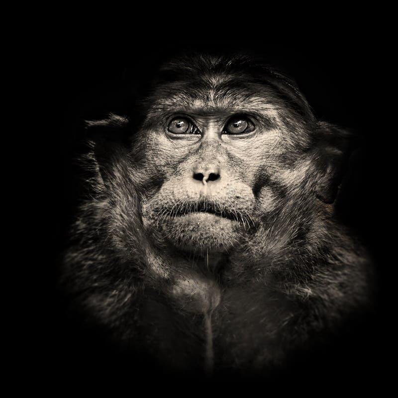 Beau portrait noir et blanc contrasté de singe de macaque de capot photos libres de droits