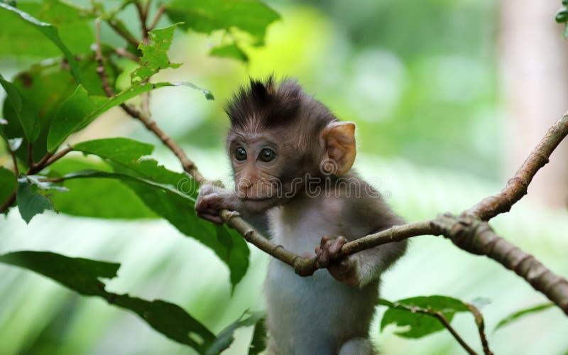Beau portrait unique de singe de bébé à la forêt de singes dans Bali Indonésie, animal assez sauvage photographie stock